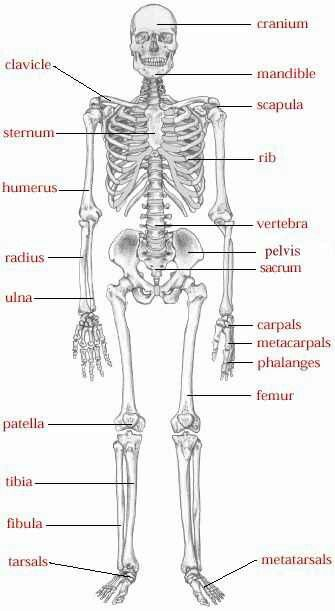 Skeletal system health class pinterest anatomy medical and school skeletal system ccuart
