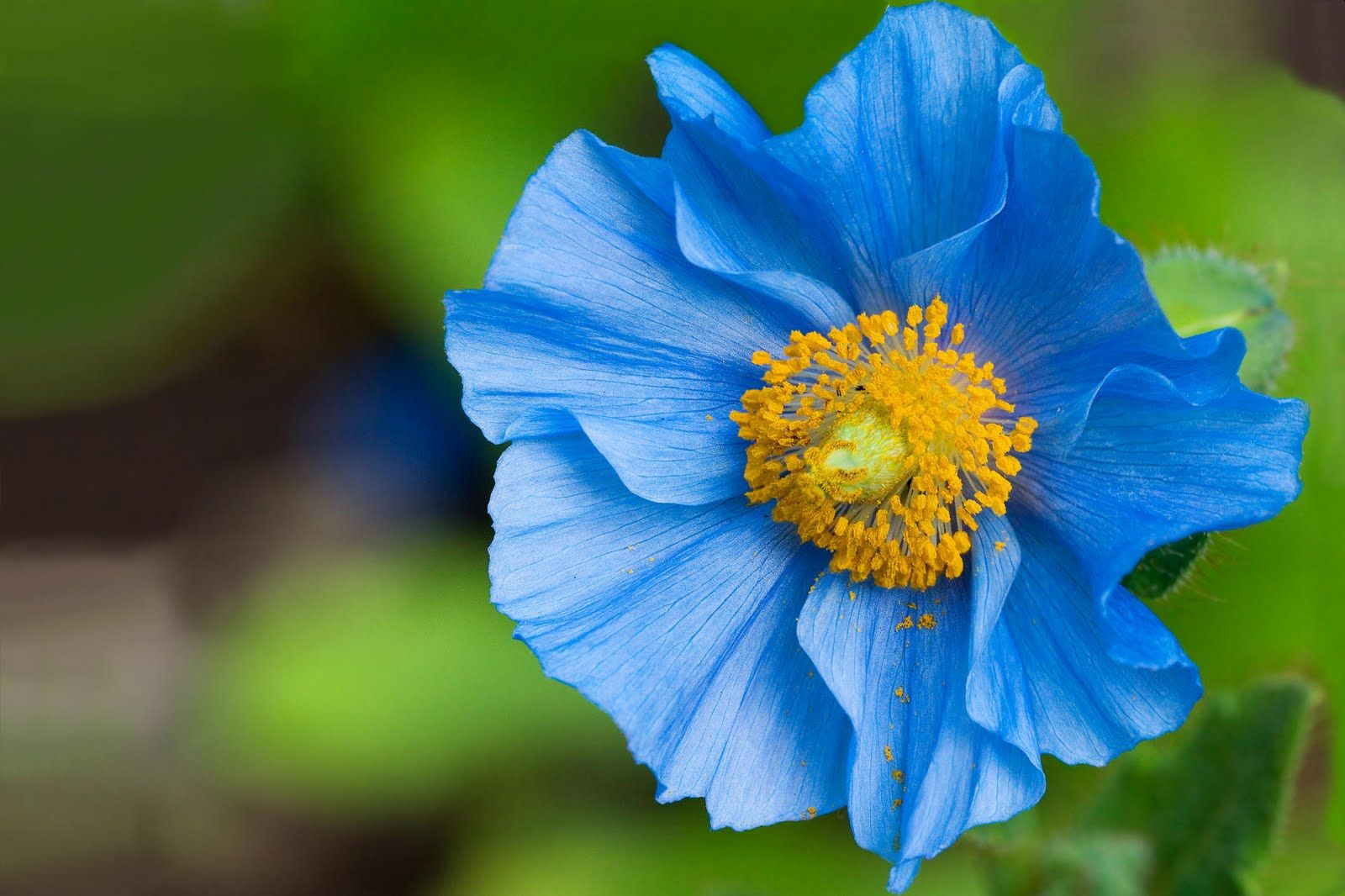 Blue Poppy Very Pretty Wedding Bells 3 Pinterest Blue Poppy