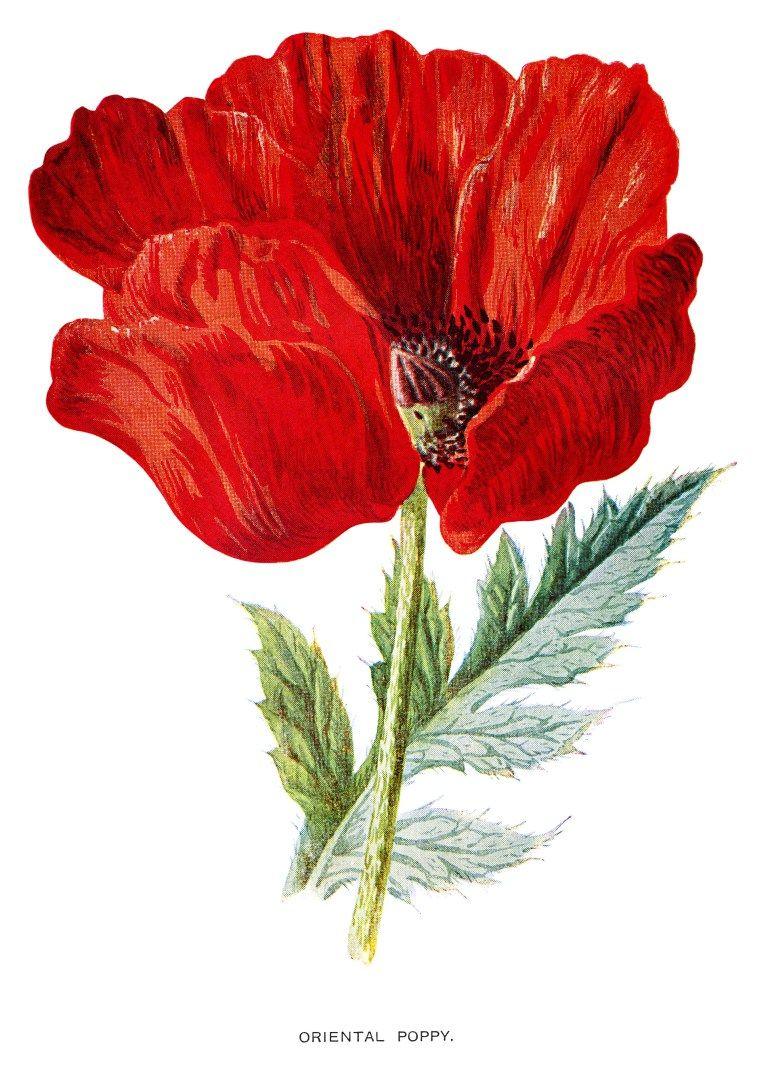 Poppy clip art oriental poppy vintage flower illus frederick poppy clip art oriental poppy vintage flower illus frederick hulme red flower mightylinksfo