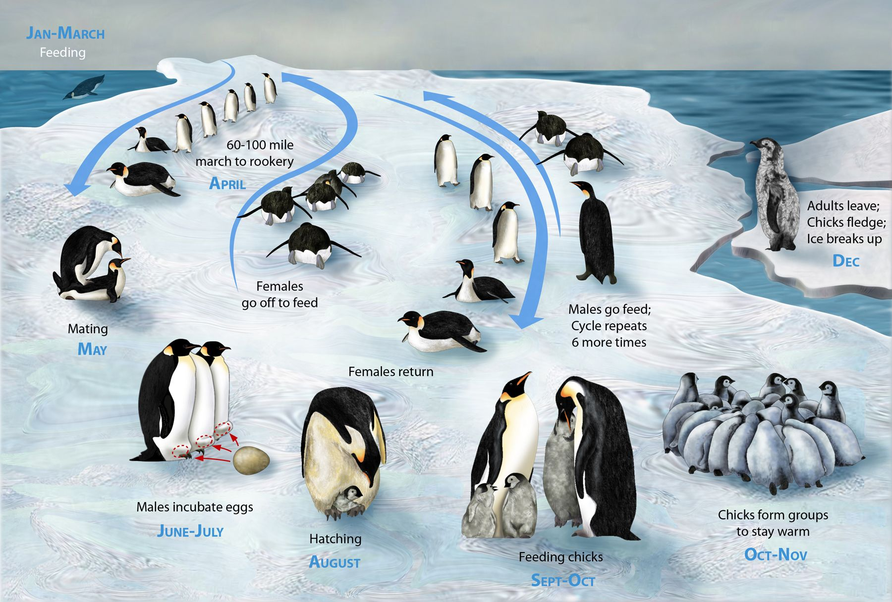 Life cycle of the Emperor Penguin catfacts More fact