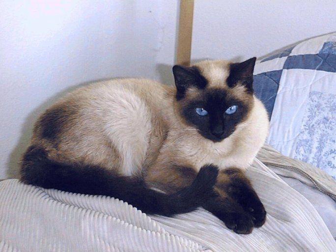 Tavi Adoptada Y Criada Por Ibone Bastante Trasto En Sus Inicios Pero En La Actualidad Una Gata Casi Perfecta Te Qu Siamese Cats Siamese Cats Blue Point Cats