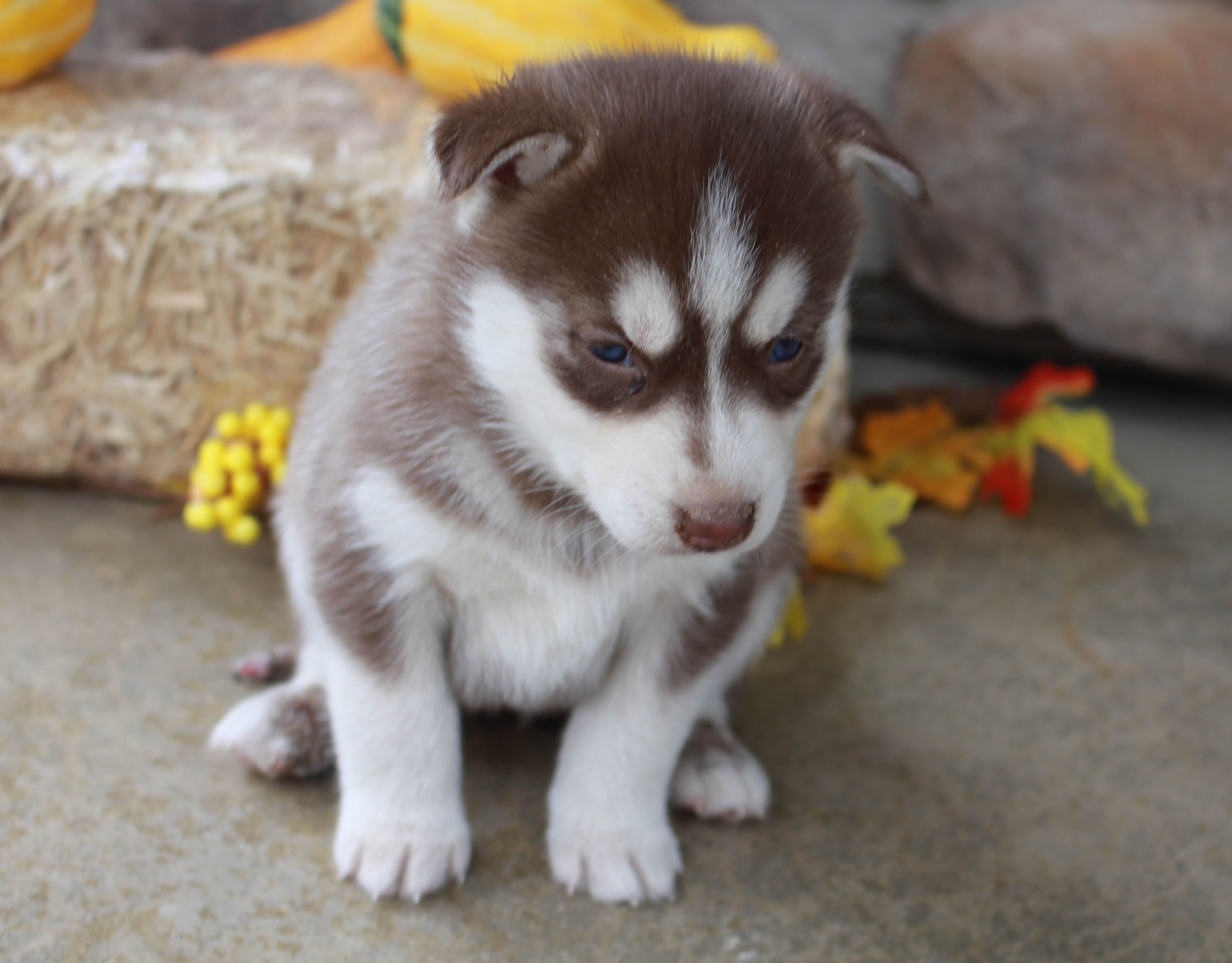 Pin By Vip Puppies Animals Dogs On Puppies For Sale Puppies Puppy Adoption Husky Puppies For Sale