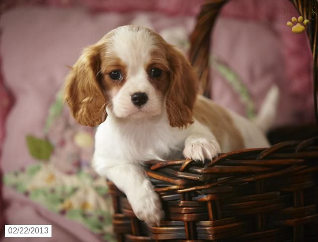 Cavalier King Charles Spaniel Puppies For Sale Spaniel Puppies
