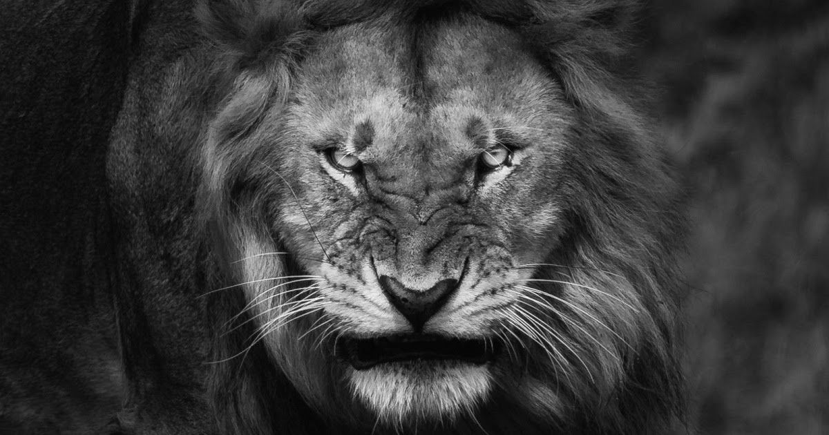 Free Download Black Lion Wallpaper High Quality Resolution To Your Iphone Or Android Free Download Black Lion Wallpaper Lion Wallpaper Iphone Lion Photography