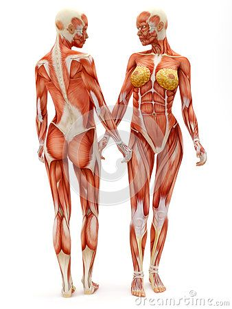 Female musculoskeletal system | full body | Pinterest | Anatomie ...