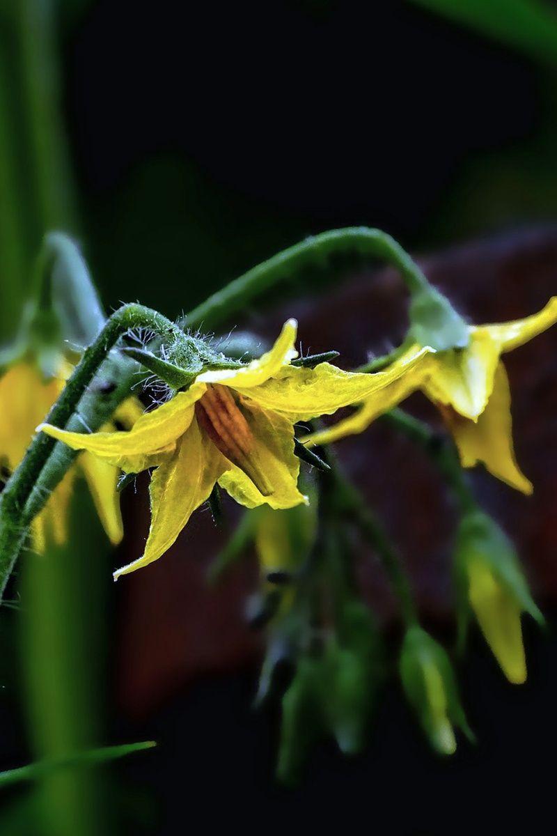 6 Grunde Warum Tomaten Nicht Bluhen Tomaten Pflanzen Tomatenpflanzen Garten Bepflanzen