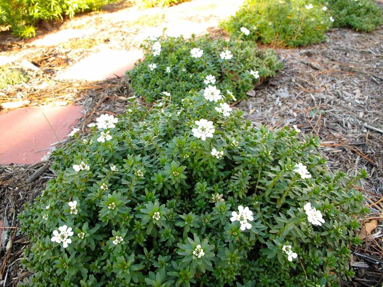 Candytuft When Not In Bloom Plants Sempervirens California Landscape