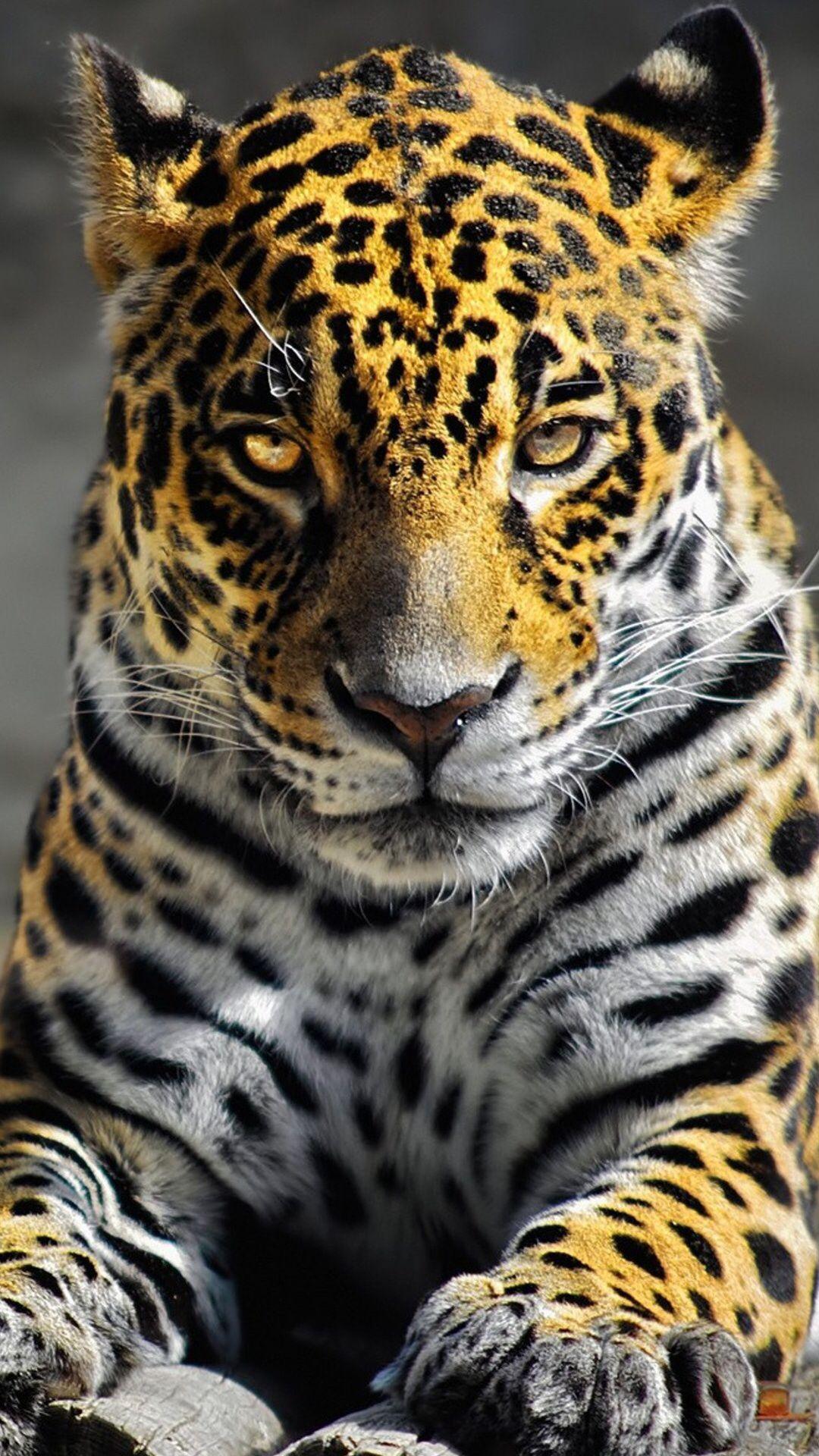 Leopard Wild Animals Photography Jaguar Animal Animals Wild
