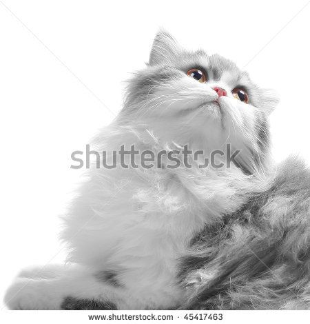 White Fluffy Classic Persian Cat Looking Back Isolated On White Persian Cat Cats Fluffy Cat
