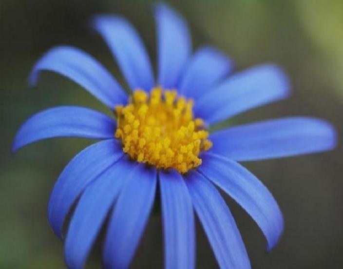 Blue Daisy Erigeron 150 Seeds Spectacular Blueyellow Center