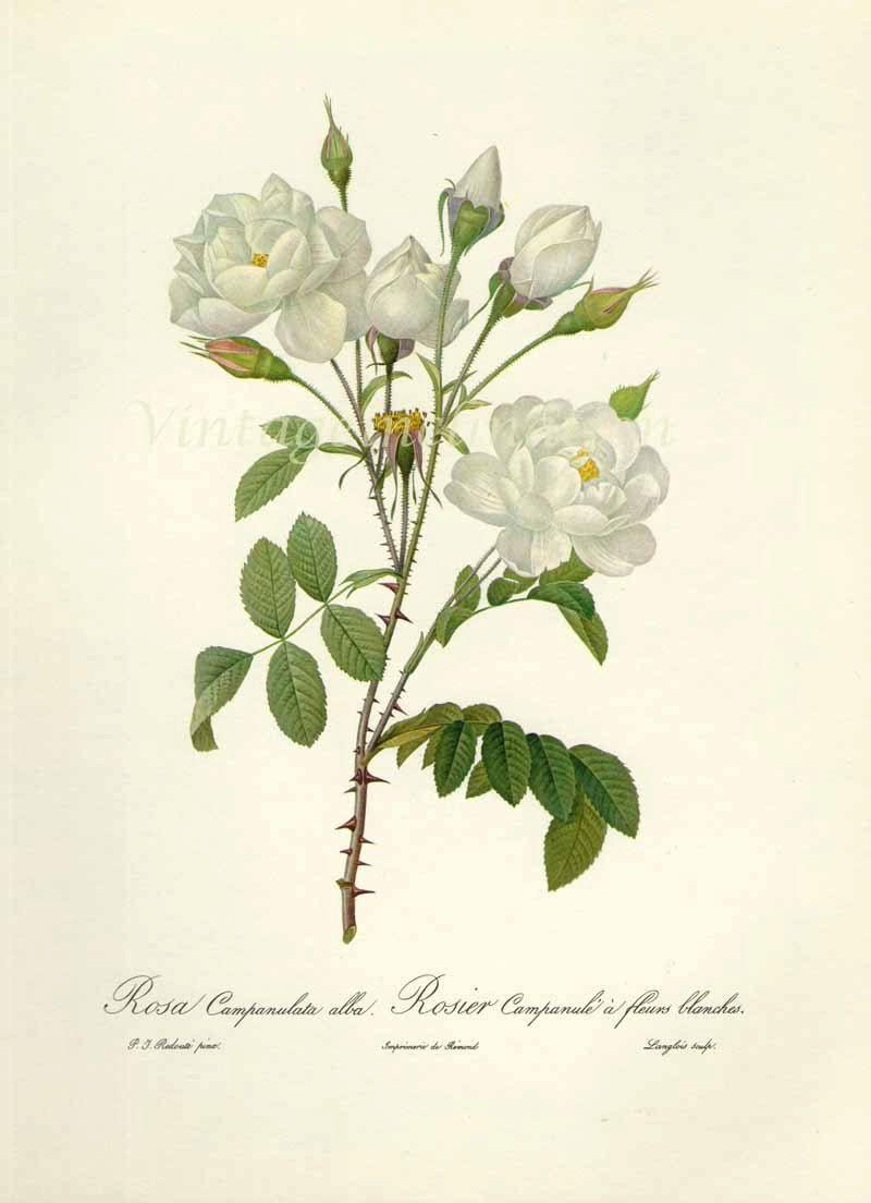 Gardenia Botanical Drawing Google Search T A T T O O