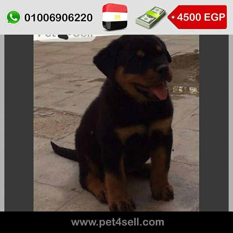 Egypt New Cairo Rottveiller Puppies For Sale Male 55 Days Pure