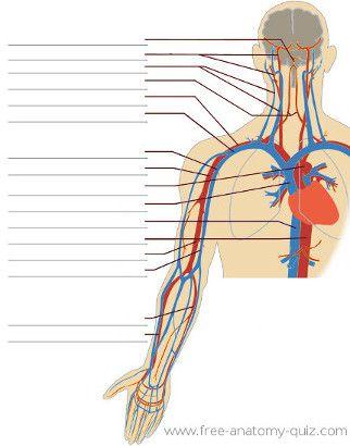 The Circulatory System Upper Body Image Anatomy Pinterest