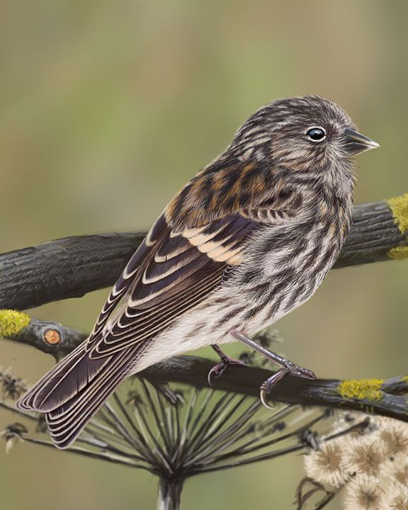 Common Redpoll - Whatbird.com