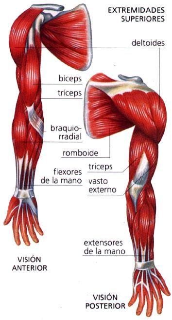 anatomia musculos del brazo - Buscar con Google | Músculos ...