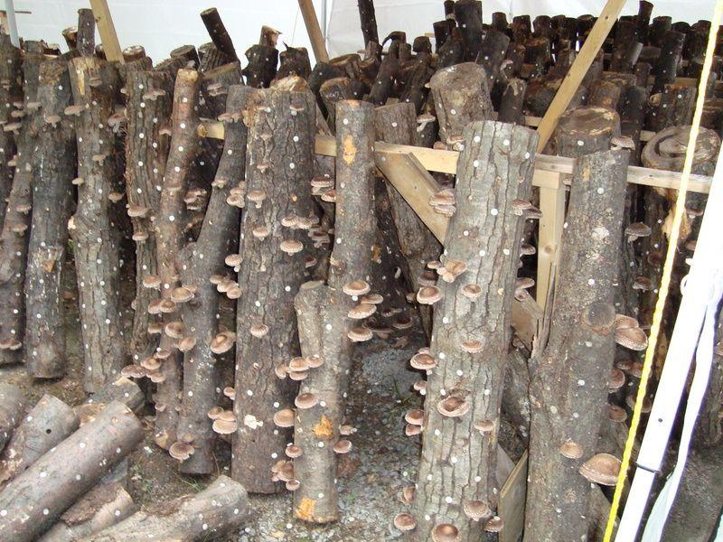 Shiitake Mushroom Log Detailed Growing Information