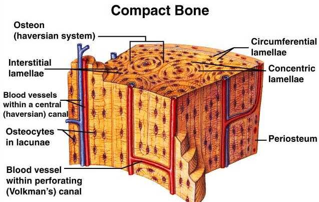 Bone Model Labeled Bing Images Biology Human Anatomy