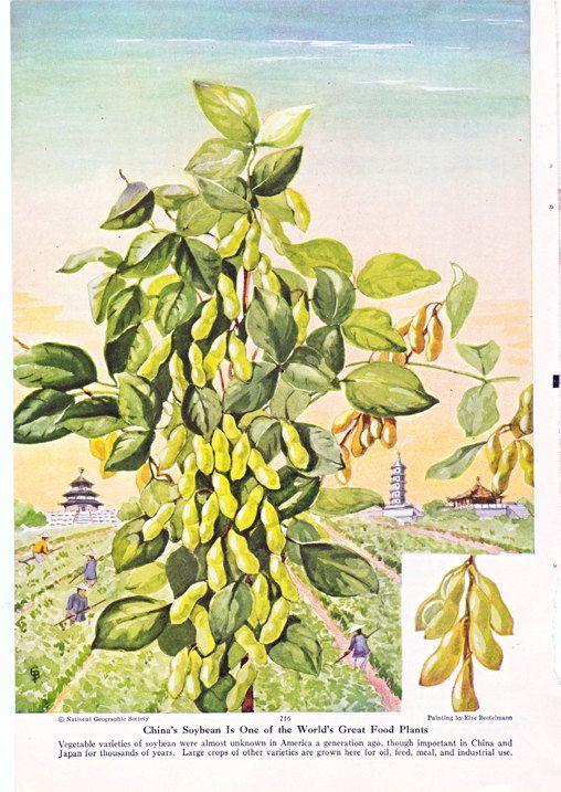 soybean plant an else bostelmann illustration vintage magazine