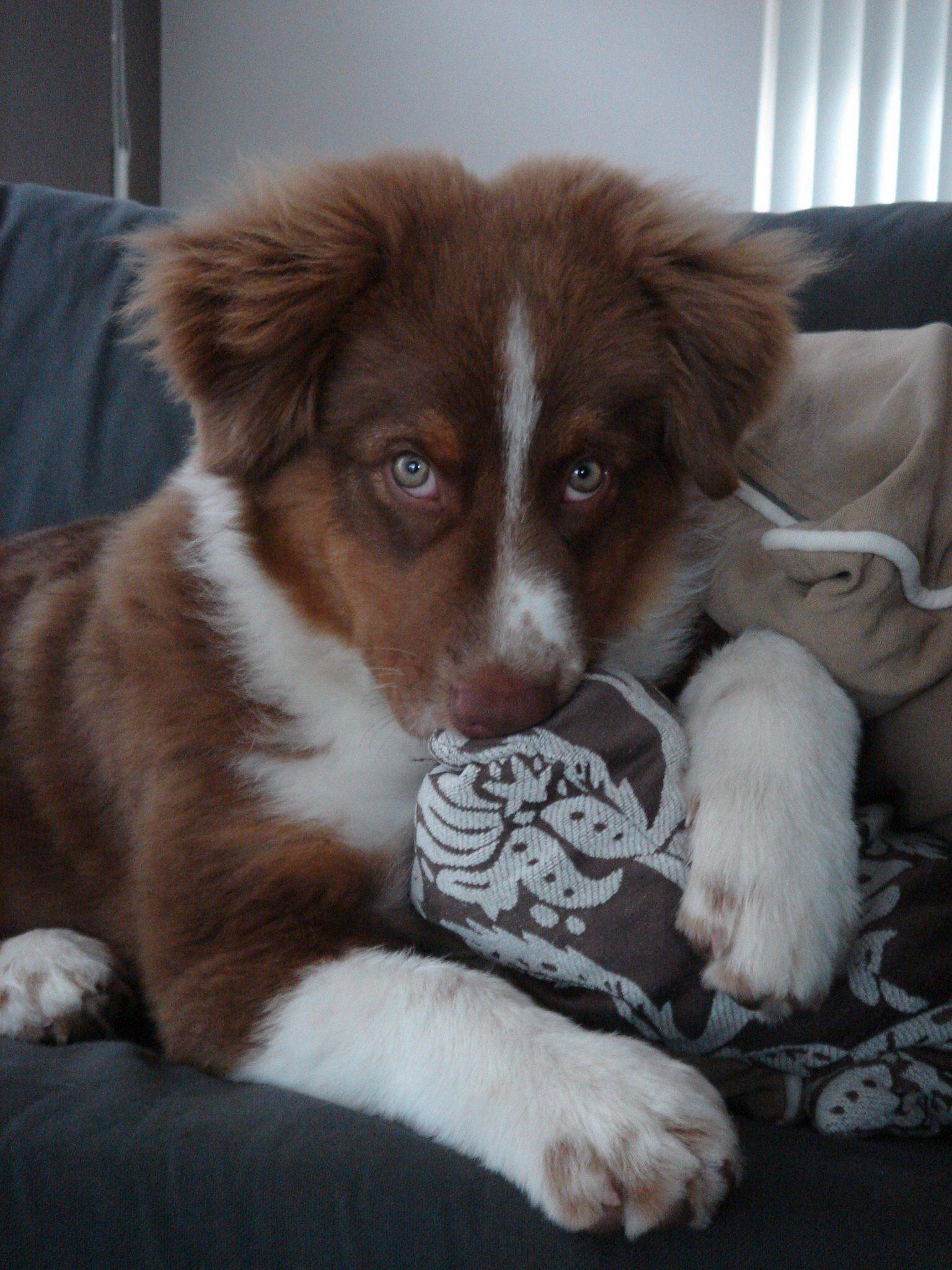 Border Aussie Puppies For Sale In Michigan 2021