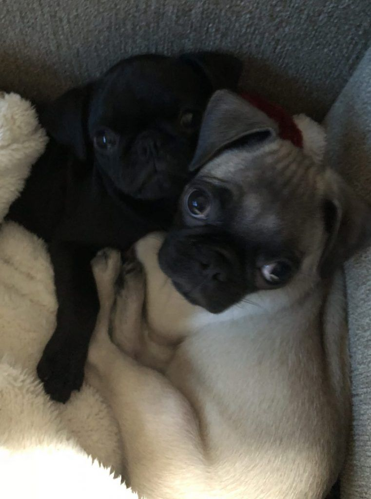 Adopted Koa Fawn Pug Puppy In San Diego Ca Fawn Pug Puppies