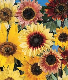 Fantasia Mix Hybrid Sunflower Seeds And Plants Annual Flower Garden At Burpee Com Types Of Sunflowers Annual Flowers Red Sunflowers
