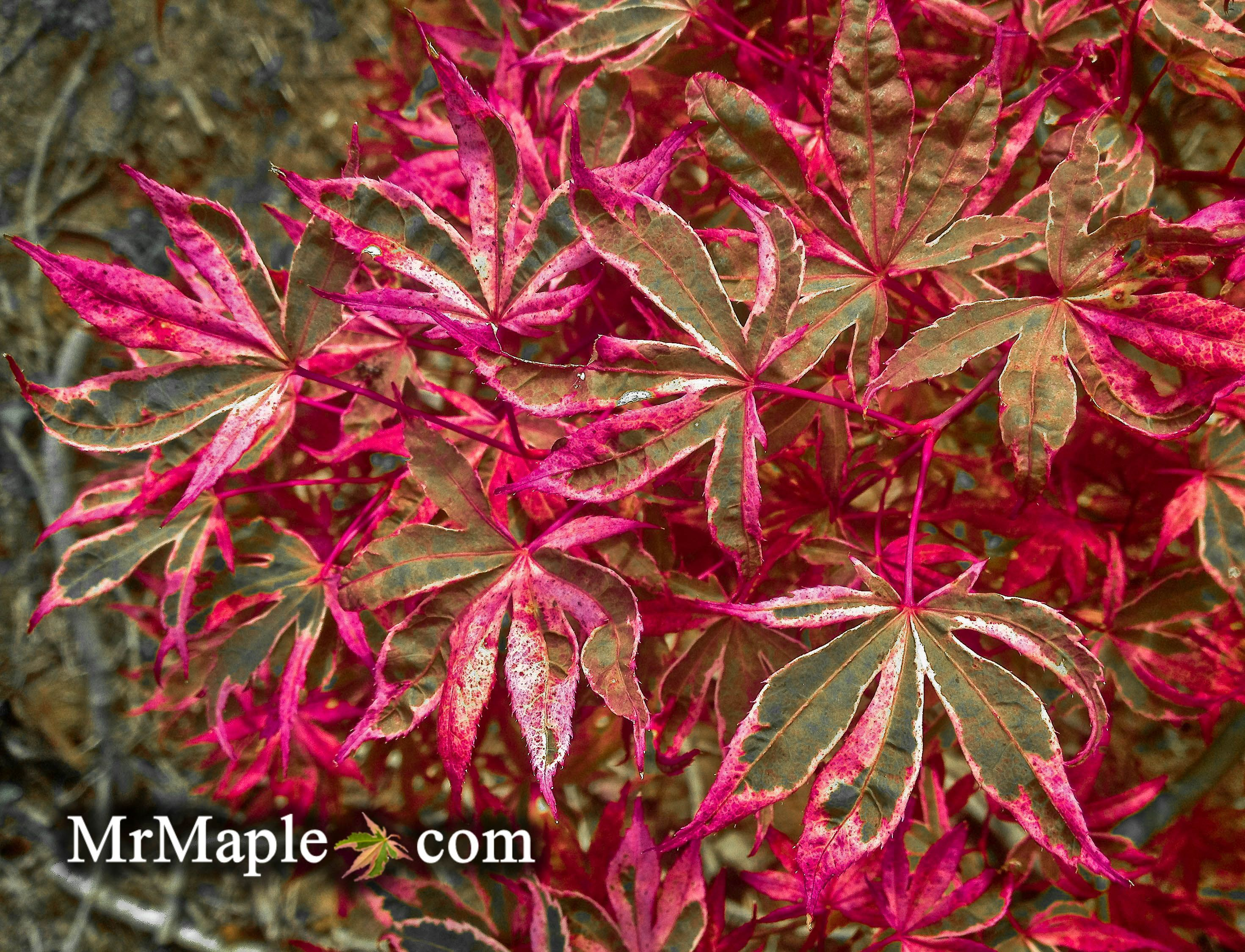 How to care for a fern leaf japanese maple - Acer Palmatum Geisha Gone Wild Is An Excellent Red And Pink Variegated Japanese Maple Buy