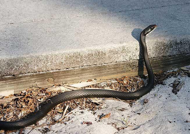 Is That Snake Venomous Snake Black Racer Interesting Animals