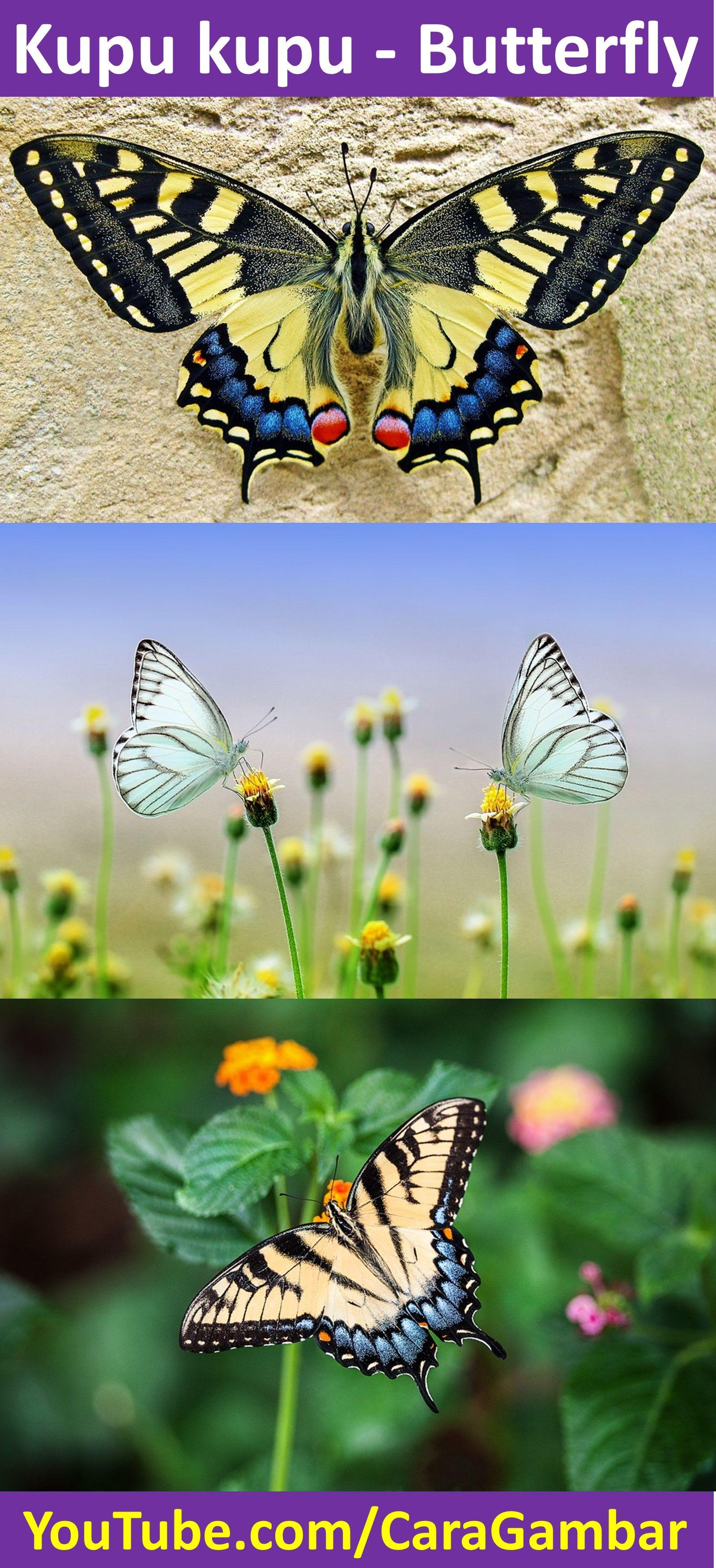 73 Koleksi Gambar Binatang Kupu Kupu HD Terbaik