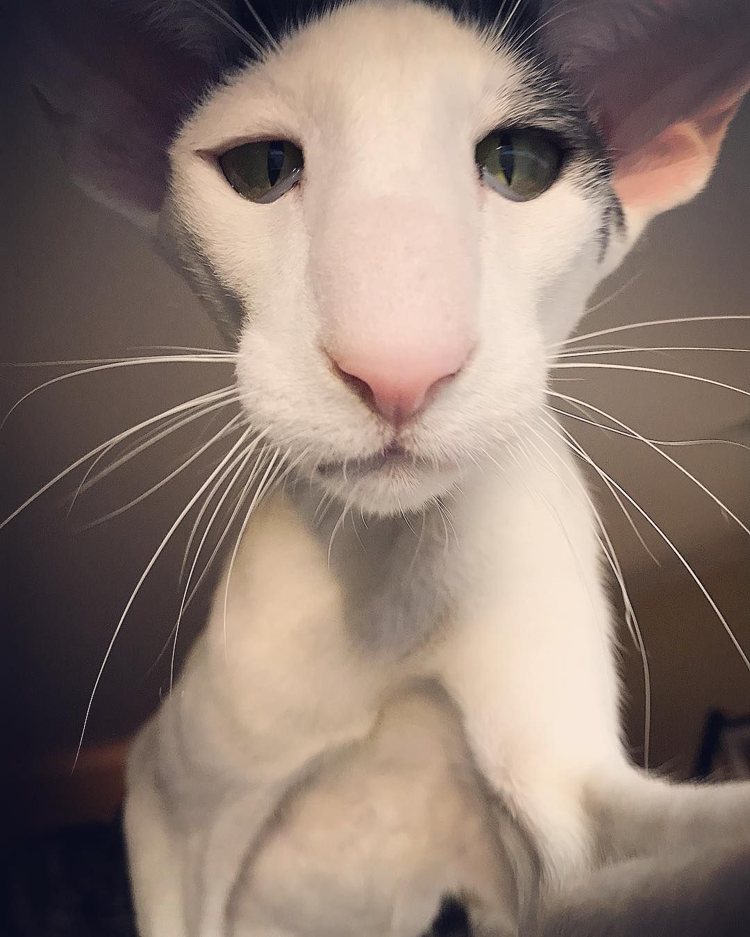 Teddy Long Legs Hobbikats Orientalcat Catsofinstagram
