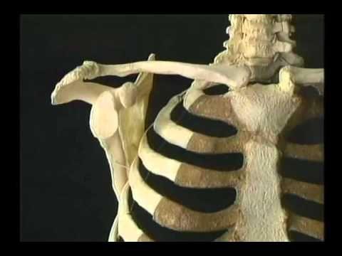Видео.Верхняя конечность. Атлас Акланда. Плечевой пояс. Перевод ...