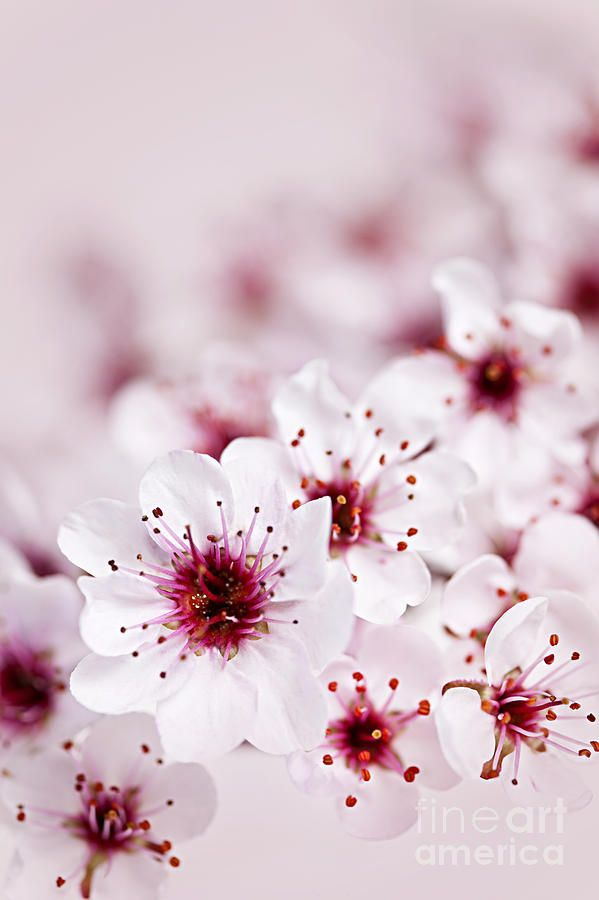 Cherry Blossoms By Elena Elisseeva Cherry Blossom Flowers Flowers Photography Flowers