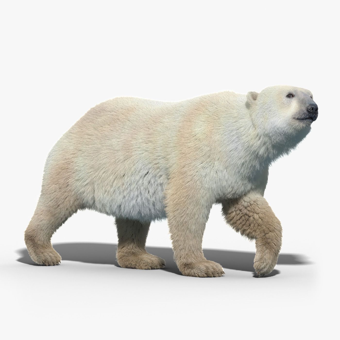 Polar Bear FUR RIGGED by cgmobile. / You can buy this 3D