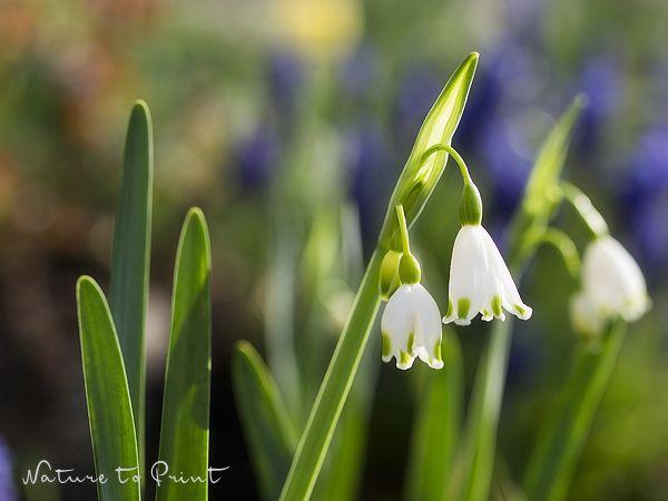 Blumenbild Märzenbecher