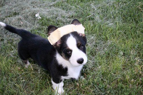 Untitled Document Corgi Dog Love Corgi Puppy