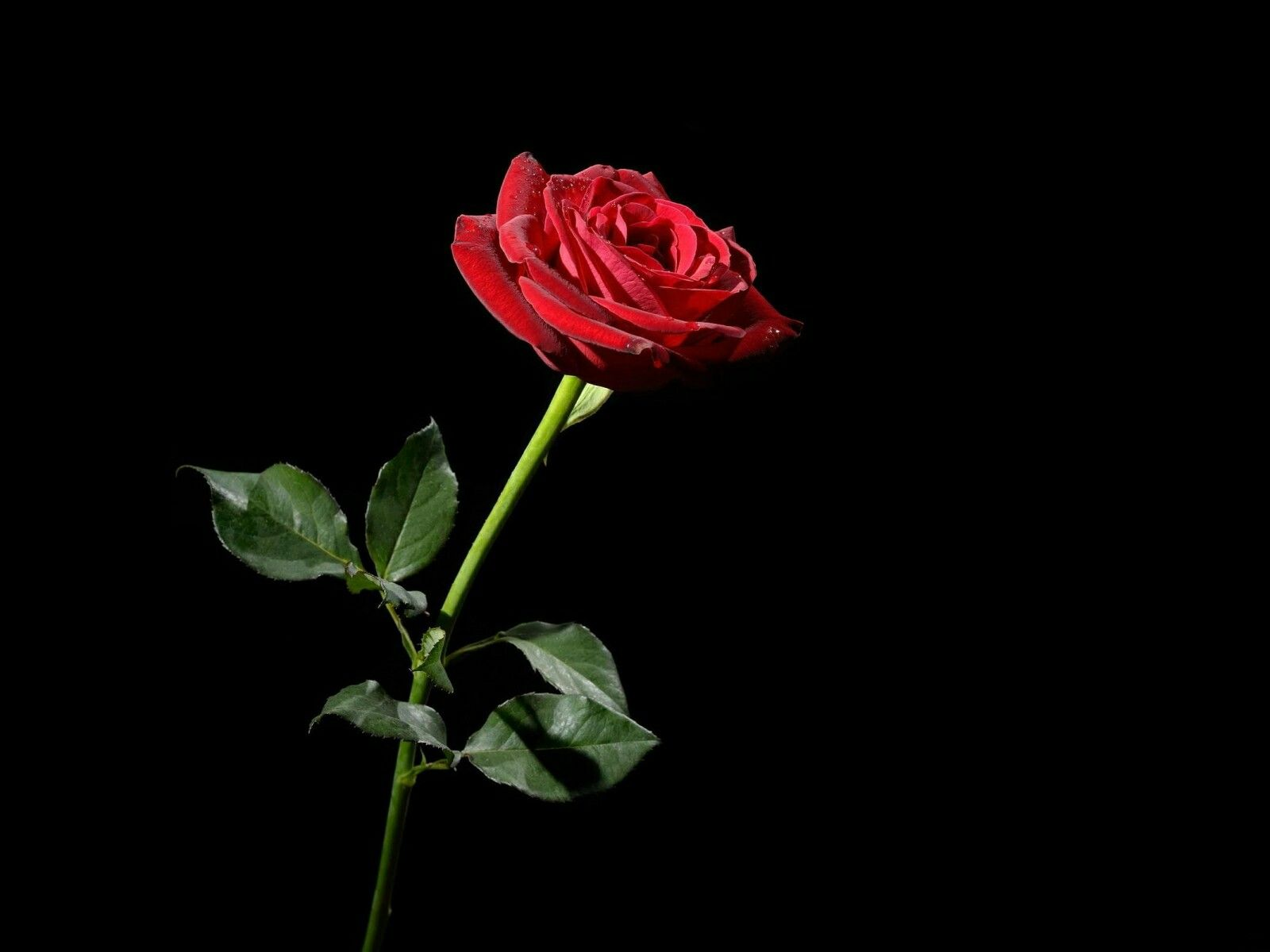 Red Rose Black Background Black Roses Wallpaper Red Flower Wallpaper Black Background Wallpaper