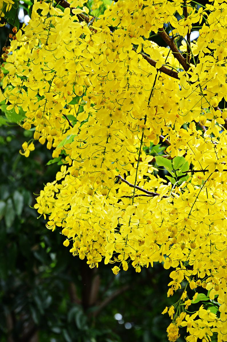 Yellow Shower tree Cassia fistula FLOWERS Flowering Trees