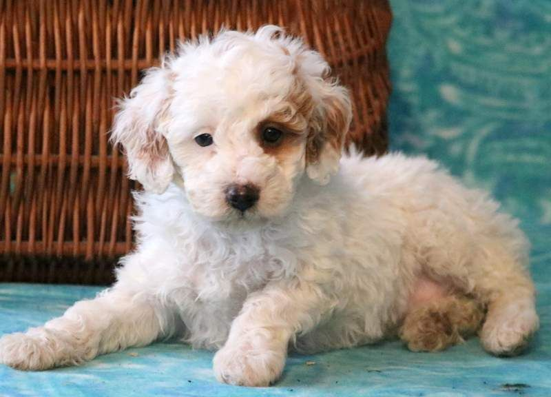 Poodle Miniature Puppy For Sale In Mount Joy Pa Adn