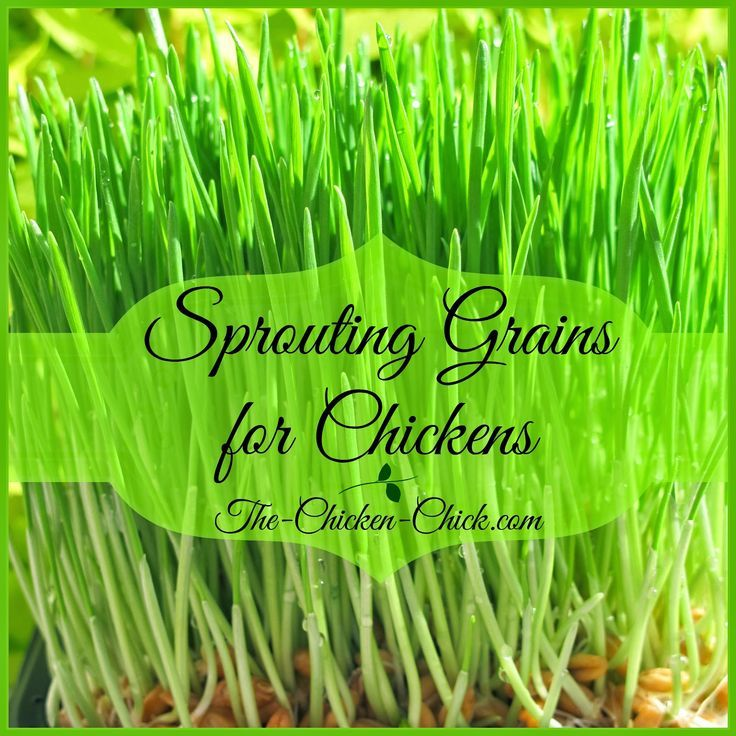 Sprouting Grains For Chickens (With Images)