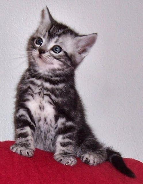 Silver Tabby American Shorthair Kitten Gatos Bonitos Felinos Gatos