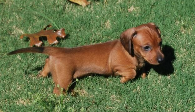 Pin By Tim Regulski On Phoebe S Board Dachshund Puppies Mini