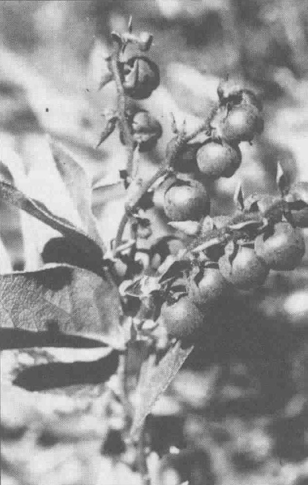 Botany and Use Traditional Plant Foods of Canadian Indigenous Peoples Nutrition