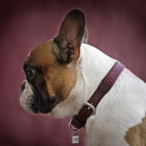 Bernard Dog Collar Wine Luxury Dog Collars Bernard Dog Designer Dog Collars