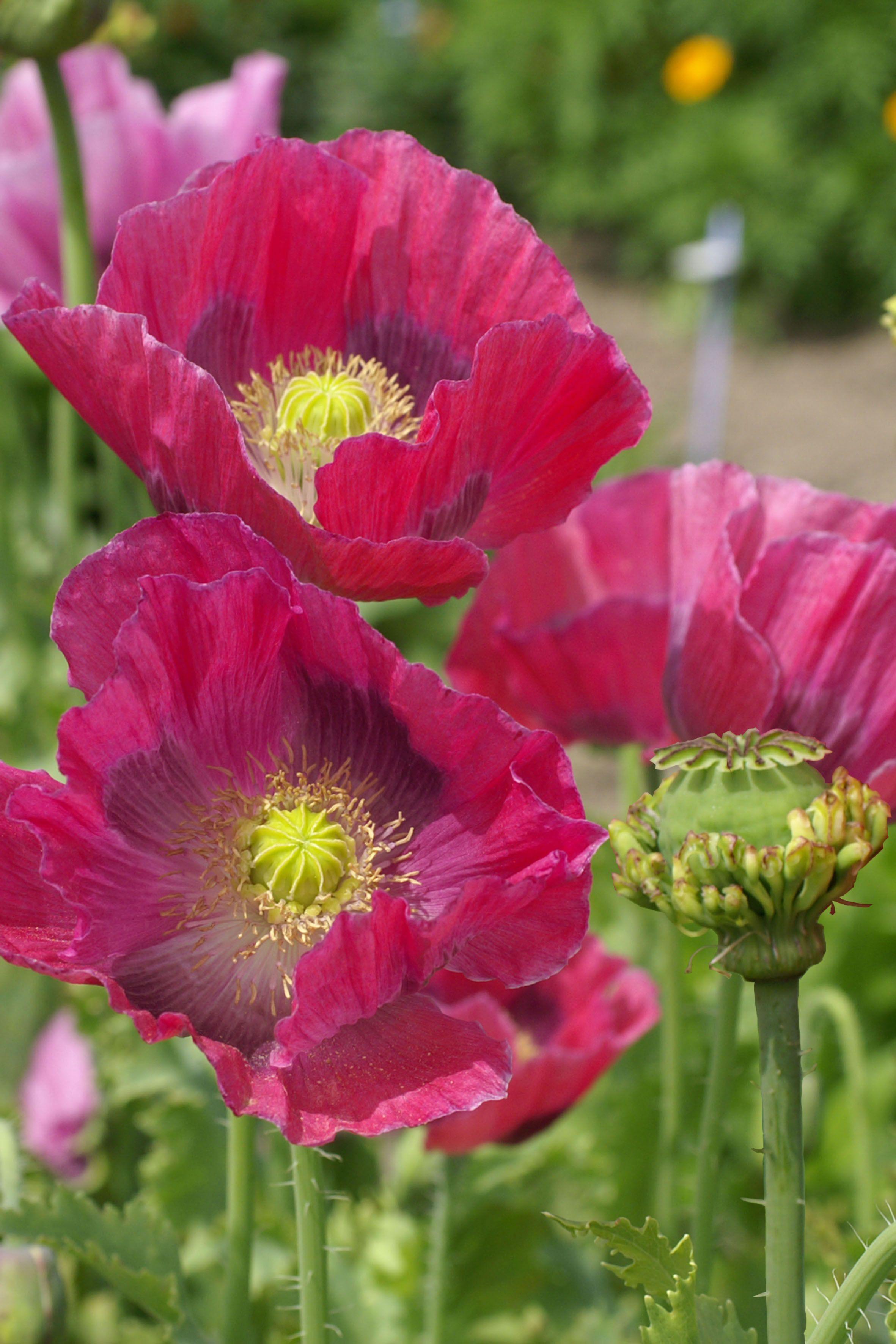 Poppy Hens And Chickens Papaver Somniferum Poppies Pinterest