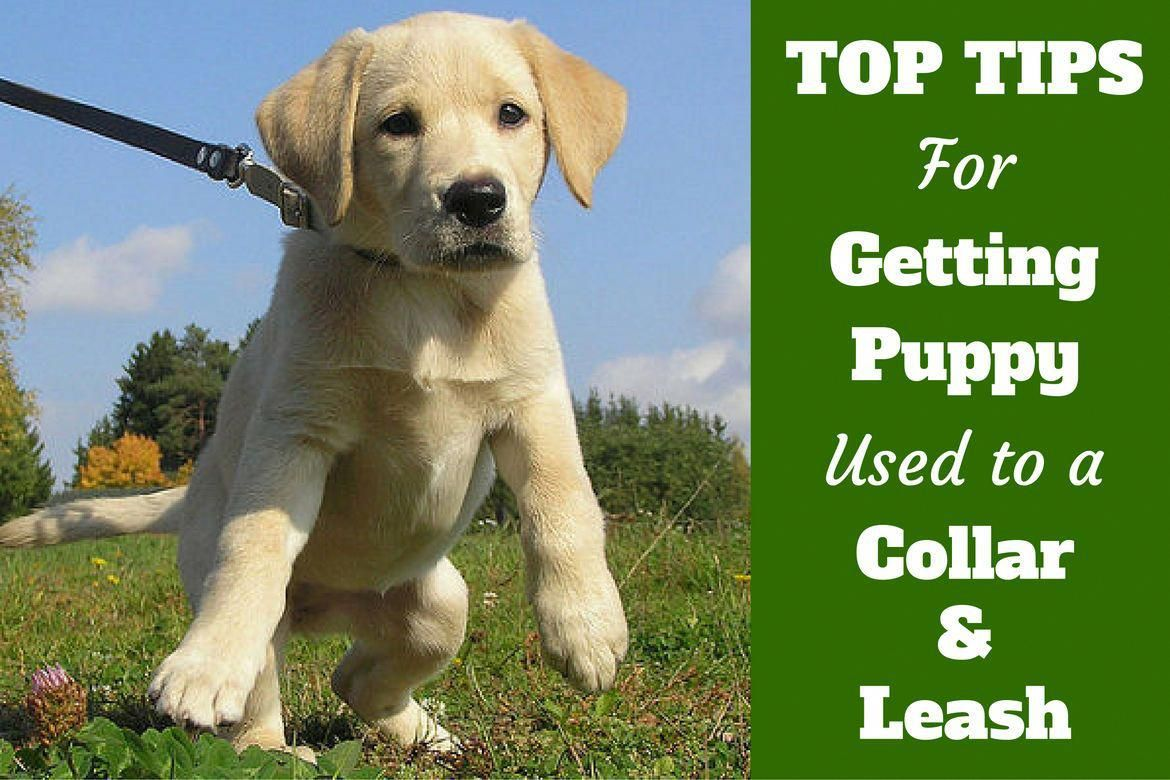 Persistent Verified Dog Training How To Learn From The Pro Dog