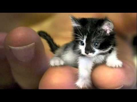 Worlds Smallest Cats World Record Breakers Tiny Cats Small Kittens Kittens Cutest