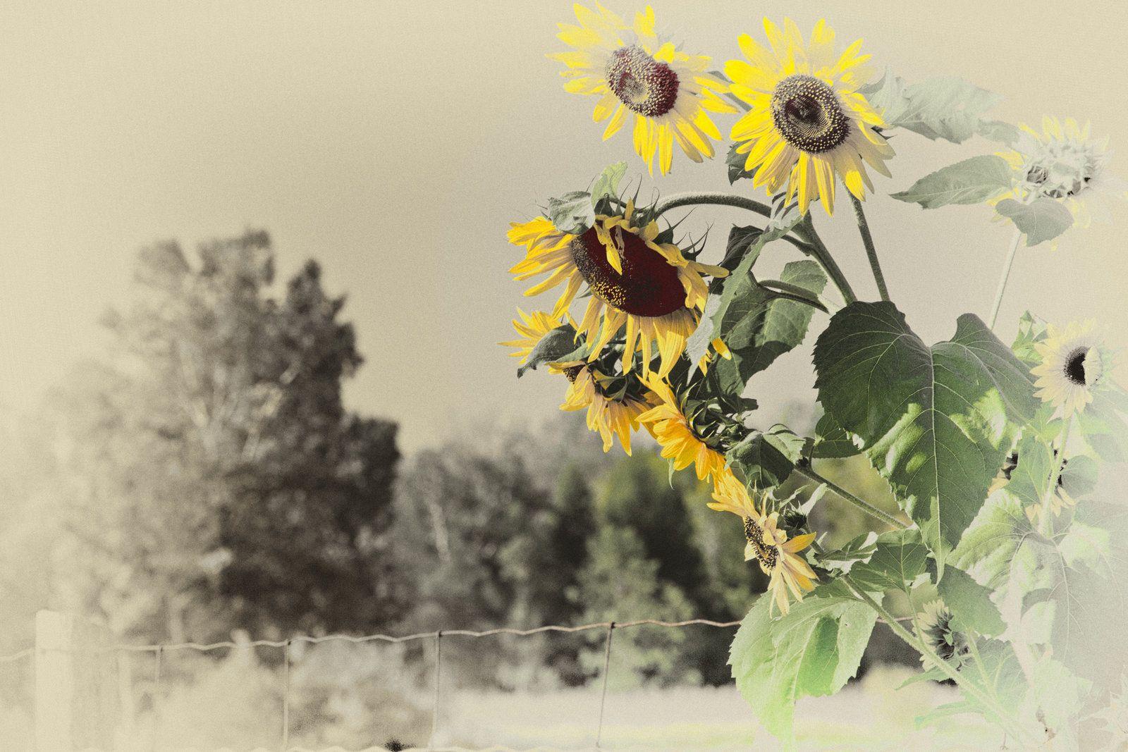 Tumblr Sunflowers Vintage Wallpaper