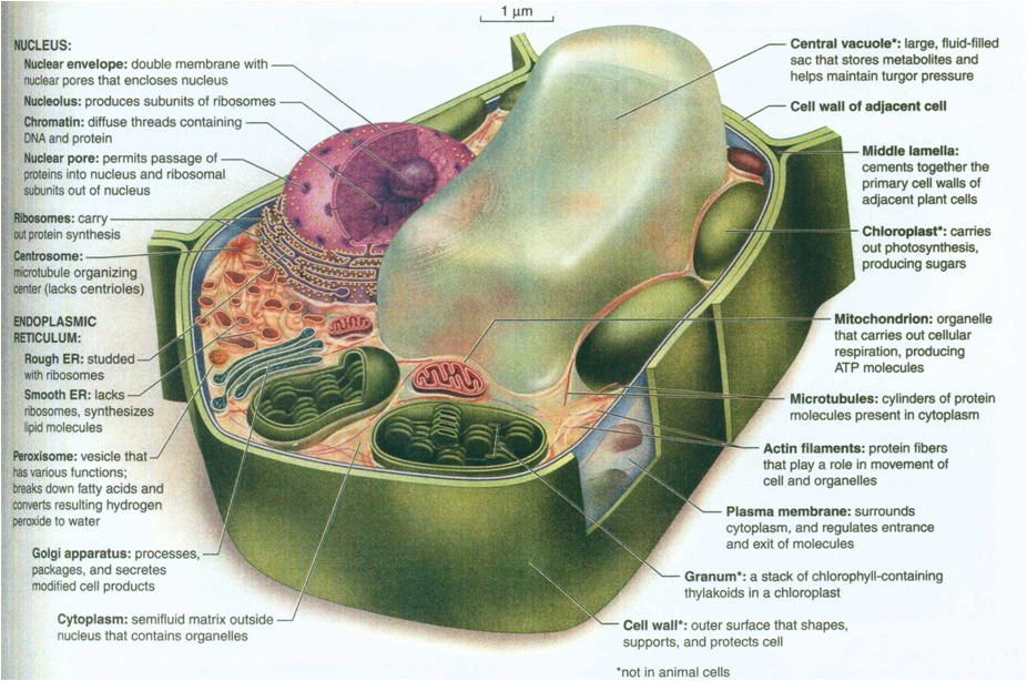 Description Cell Structure Cell Diagrampng