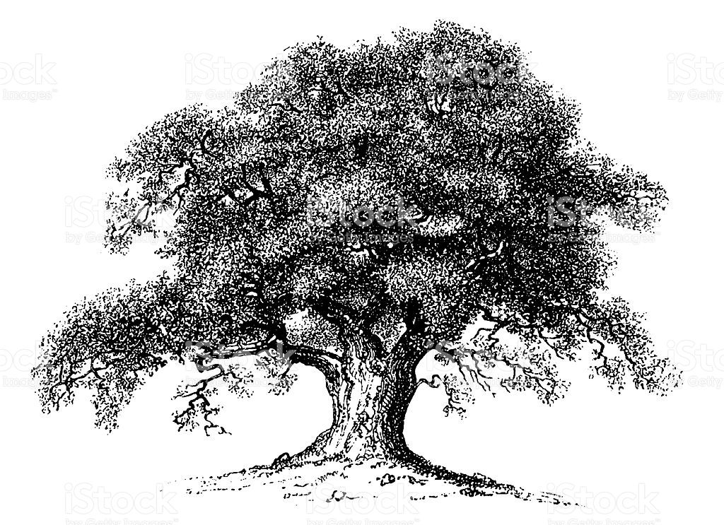 Old engraving of an oak tree isolated on white scanned at 600 old engraving of an oak tree isolated on white scanned at 600 dpi altavistaventures Image collections