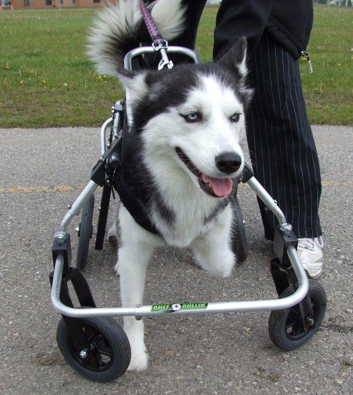 Taya Siberian Husky Full Support Dog Wheelchair Wheelchairs For Dogs Dog Wheelchair Support Dog Siberian Husky