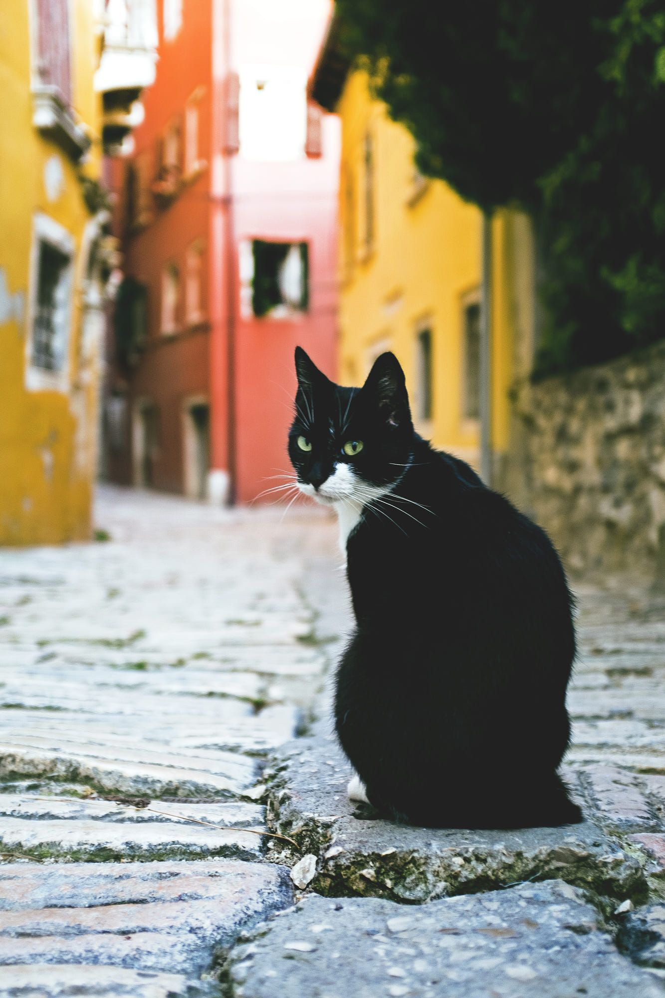 Croatian Cat (With images) Cats, Cat lovers, Domestic cat
